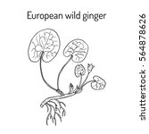 european wild ginger  asarum...   Shutterstock .eps vector #564878626