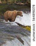Small photo of Alaskan Brown Bear - (Ursus arctos)