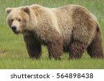 alaskan brown bear    ursus... | Shutterstock . vector #564898438