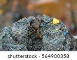Tree Climbing Crab By Mud...