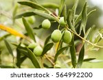 green olives in an olive grove | Shutterstock . vector #564992200