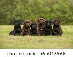 Stock photo sitting black and chocolate labrador retriever puppies 565016968