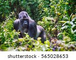 mountain gorilla  volcano... | Shutterstock . vector #565028653