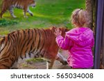 Kid Watching At Tigers In Zoo...