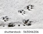 footprints of a small animal in ... | Shutterstock . vector #565046206