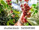 hand holds branch of ripening... | Shutterstock . vector #565049380