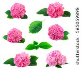 collection of hydrangea... | Shutterstock . vector #565059898
