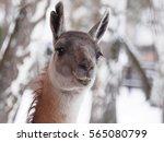 guanaco | Shutterstock . vector #565080799