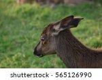 wild deer in the forest | Shutterstock . vector #565126990