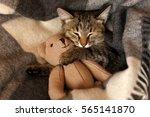 gray kitten sleeping on gray...   Shutterstock . vector #565141870