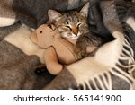 Stock photo gray kitten sleeping on gray plaid wool blanket with tassels embracing soft beige knitted toy 565141900