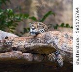 Leopard Take A Nap.