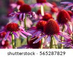 Echinacea Flowers In The Garden