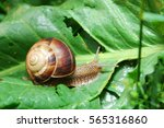 Curious Snail In The Garden On...