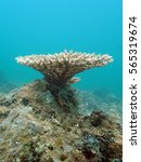 Small photo of table coral (acropora sp.) found at coral reef area in tioman island