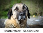 Anatolian Shepherd Dog  Turkey