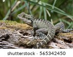 an australian water dragon... | Shutterstock . vector #565342450
