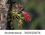 Tropical Epiphyte With Blossom  ...