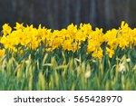 Blooming Daffodils Against Dar...
