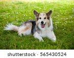 german shepherd   border collie  | Shutterstock . vector #565430524