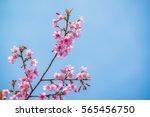 Branch With Pink Sakura...
