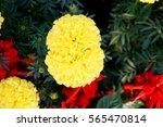 Photo Of Yellow Marigold...