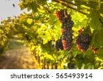 grape harvest  | Shutterstock . vector #565493914