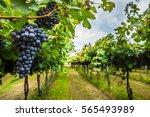 grape harvest  | Shutterstock . vector #565493989