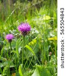 Common Knapweed Growing In A...