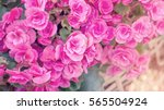 Beautiful Pink Begonias In The...