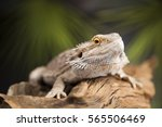 root bearded dragon  agama... | Shutterstock . vector #565506469