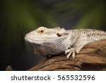 root bearded dragon  agama... | Shutterstock . vector #565532596