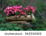 Begonias In Bamboo Pot.