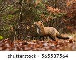 red fox   vulpes vulpes | Shutterstock . vector #565537564