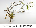 dry branch isolated on white... | Shutterstock . vector #565553740