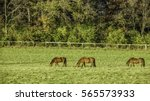 Small photo of Three brown horses (trinomial name: Equus ferus caballus) grazing in a paddock with a slight slope at a public equestrian center on a sunny afternoon in autumn, northern Illinois, USA