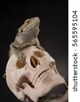 Small photo of Skull, Agama bearded, lizard background