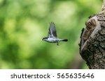 Woodland Bird Flying.  Male...