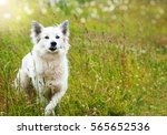 Stock photo white fluffy dog runs across the field 565652536
