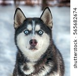Portrait Of Husky Dogs