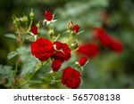 beautiful roses in garden ... | Shutterstock . vector #565708138