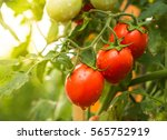 tomato fruit with water drop... | Shutterstock . vector #565752919