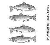 atlantic salmon   illustration... | Shutterstock .eps vector #565758499