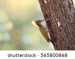 Lesser Yellownape Woodpecker ...