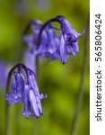 Common Bluebell  Hyacinthoides...