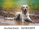 Stock photo golden retriever in puddle 565832899