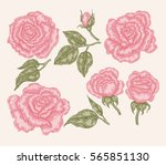 elegant pink rose flowers and... | Shutterstock . vector #565851130