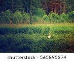 white stork bird in the meadow... | Shutterstock . vector #565895374