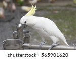 the cockatoo parrot. thailand.... | Shutterstock . vector #565901620