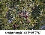 Lace Bark Pine Cones  Pinus...